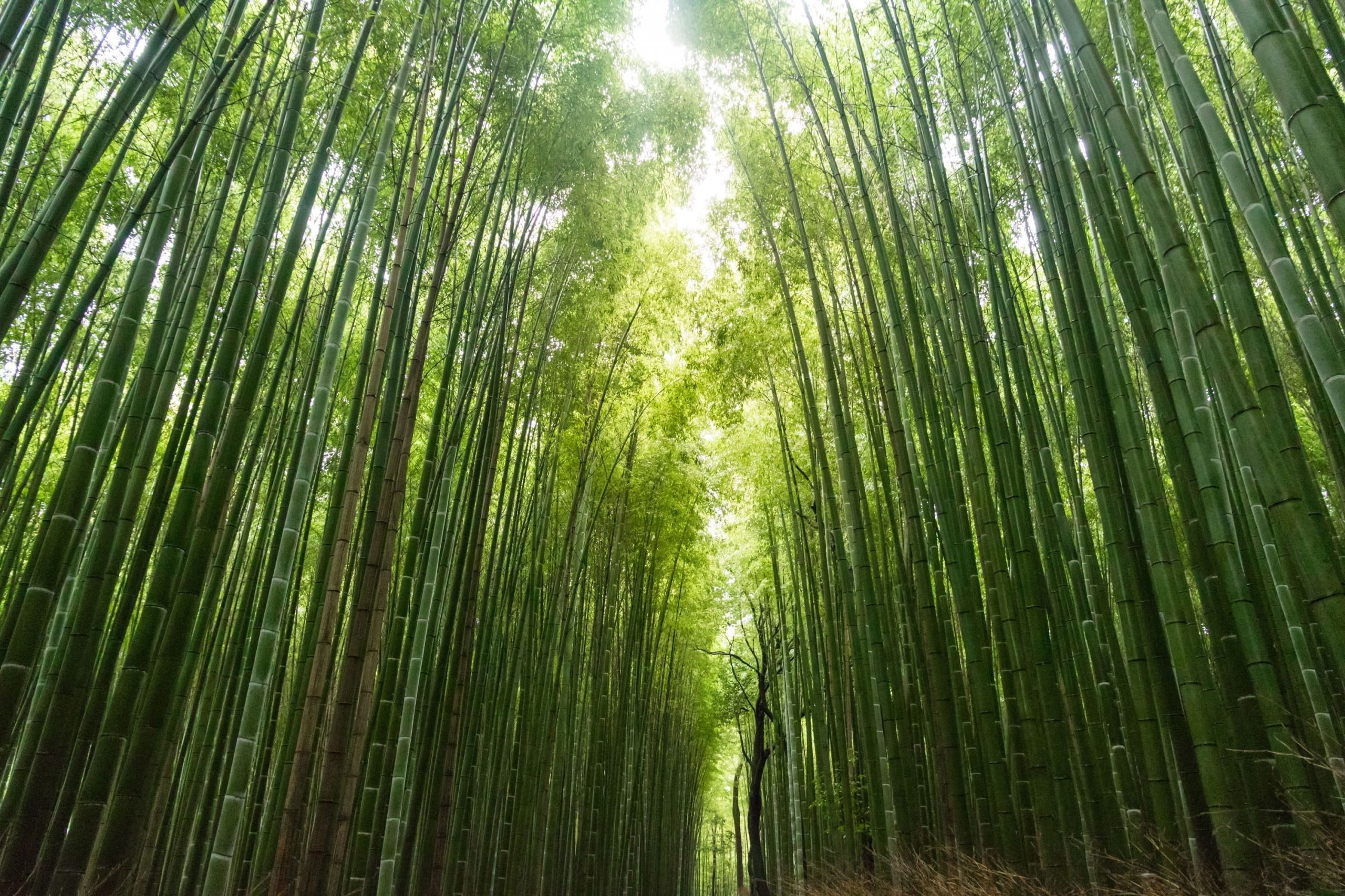 Bamboo Forest in Kyoto   Escorted Japan Tours with Kintetsu